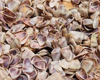 Blue/White Coquina Shells (appx. 250 pcs.) - Donax Variabilis