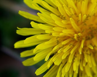 11x14 inches, dandelion, yellow, green, nature, photo, print, photography, spring