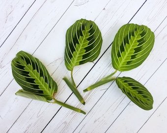 Maranta Lemon Lime CUTTINGS Lemon Lime Prayer Plant Cuttings