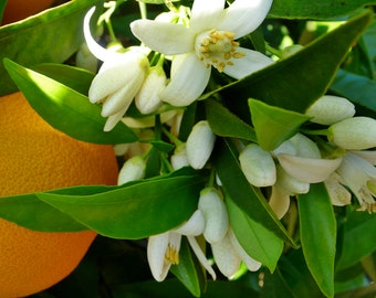 Neroli Essential Oil (Orange Blossom Oil) | Pure | Undiluted