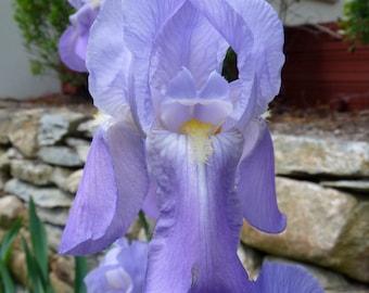 Blue Iris- Photograph