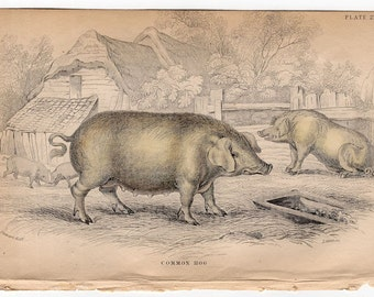 1836 hog original antique animal print engraving - the common hog