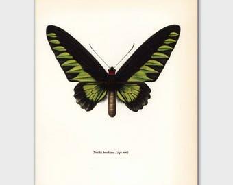 "Butterfly Wall Art, 1960s Bedroom Print ""Rajah Birdwing"" Vintage Book Plate No. 64-1"