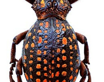 Supplies for taxidermy artworks - dried insects - :  Lot of 2 beetles brachycerus ornatus 35/45MM weevil UNMOUNTED A1 quality  FREE SHIPPING