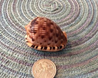 Reticulated cowrie helmet