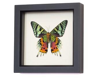 Madagascan Sunset Framed Moth 1331