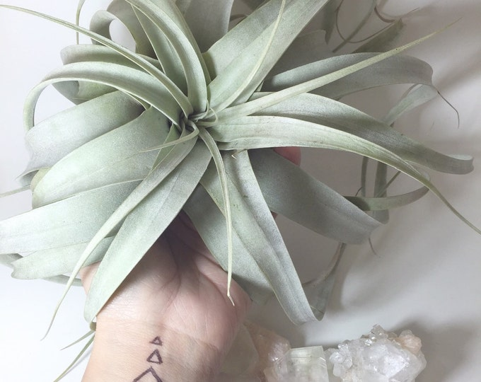 Xerographica Airplant Tillandsia Large Easy To Care Plant