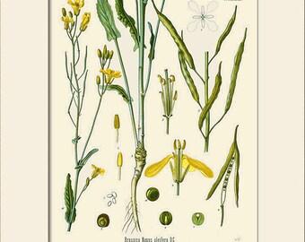 Botanical Print, Rapeseed Plant Art Print, Brassica Napus, Art Print with Mat, Note Cards, Natural History, Wall Art, Wall Decor