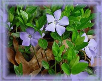 Vinca Major Flower Essence - Nature's Remedies