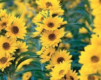 Perennial Sunflower Seeds, Maximilian Seeds, Sunflower Seeds, Annual Flower Seeds, Butterfly Garden Seeds, Helianthus Seeds
