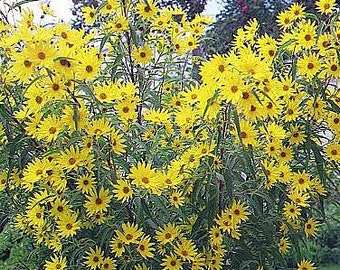 Sunflower Seeds, Maximillian Flower, Tons of Blooms on One Plant, Perennial, 20 Seeds