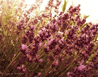 Sunlit lavender, bokeh, floral photography, nature photography, cottage-chic print, whimsical print, flower photography, lavender sprig