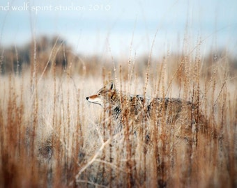 Coyote in Tall Weeds Fine Art Photo