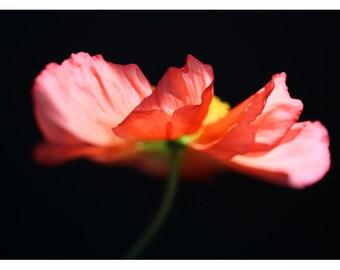 Nature Photograph - Floral Art - Flower Photograph - Pink - Fiery #1 - Fine Art Photograph - Alicia Bock - Botanical - Poppy - Oversized