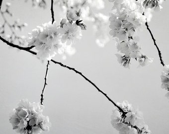 Cherry Blossom Art Photograph Black and White Spring Blossoms Modern Flower Wall Art 8x8