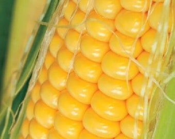 Heirloom open pollinated Golden Bantam corn sweet flavour is fantastic for fresh eating or freezing on the day it is picked