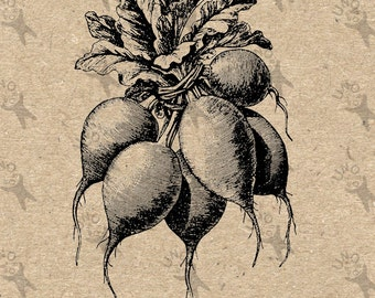 Image Vegetable Radish Instant Download picture Digital printable vintage clipart graphic Stickers Burlap Fabric Transfer Iron On  HQ 300dpi