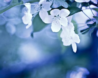 Nature Photography Macro soft flowers blooms blossoms cobalt blue white spring - Don't Wake Me If I'm Dreaming - 5x7 Fine Art Photograph