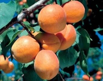 NEW Mini Apricot Tree