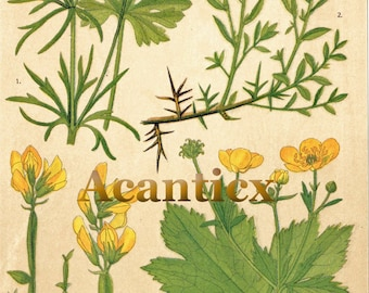 AC10015 Antique original lithography 1918 wood flowers herbs flora botany ranunculus gorse  chromolithography