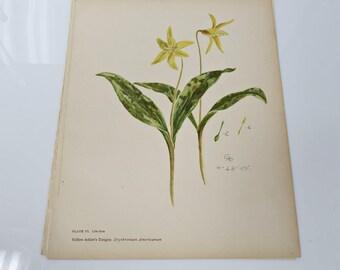 1906 Yellow Adder's Tongue Erythronium Americanum Book Plate - Color Chromolithograph - 8 x 10
