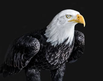 The Mighty Bald Eagle 12 x 8 lustre print