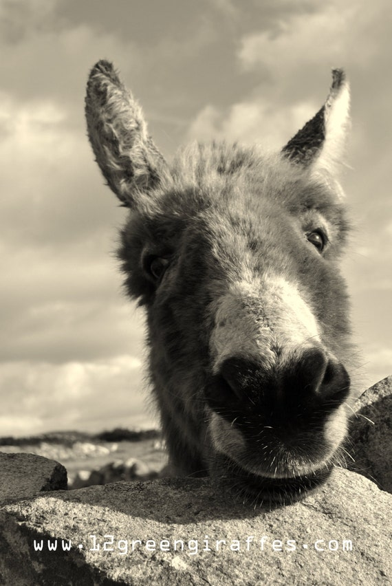 "Ireland Nature Black and White Portrait Photograph of a Gorgeous Connemara Donkey 18"" x 12"""