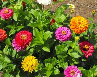 Zinnia, California Giant Mix Heirloom Seeds - Non-GMO, Open Pollinated, Untreated, Flower Seeds