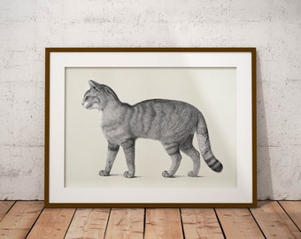 Old vintage Illustrations of animals-cat