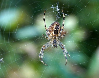 Spider Weaves A Web Print