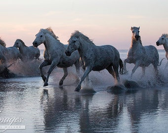 Camargue Horses Run into the Sunset - Fine Art Horse Photograph - Horses - Camargue - Fine Art Print