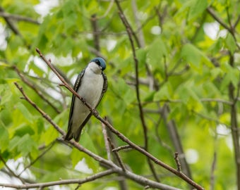 Tree Swallow Fine Art Photo Print - Wildlife Photography - Bird Photos - Nature Photography - Gifts for Nature Lovers - Bird Photography