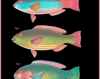 antique french ichtyology pseudoscarus tricolor tropical parrot fishes illustration black background digital download