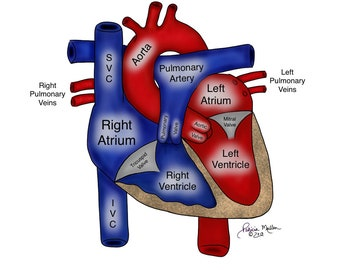 Labeled Normal Human Heart