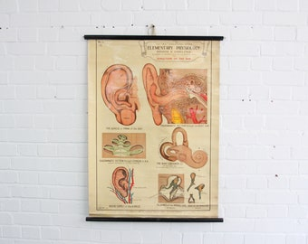 Anatomical Chart Of The Ear By Robert E Holding Circa 1940s