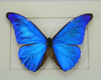 Brilliant Blue Morpho Rhetenor -Real Framed Butterfly -Dazzling!