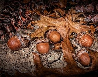 Fallen Acorns with Oak Leaves and Pine Cones in Southwest Michigan No.1223 A Fine Art Autumn Still Life Nature Photograph