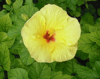 Hibiscus yellow flower photograph or canvas print, 5x7, 8x10, 11x14, 16x20
