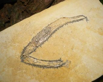 Fossilized Crustacean Leg, 176g (Cycleryon)