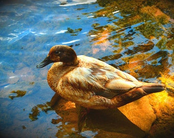 Mallard  Portrait in the Pond Art Nature Photo Home Office Wall Decor