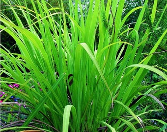 Palmarosa organic essential oil