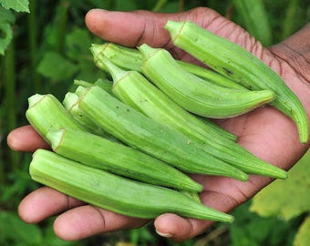 FRESH Okra Seeds, Organic, Heirloom Tropical Vegetable Seeds, 10/50/100 Seeds