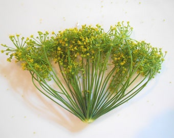 FRESH ORGANIC DILL Blossoms,Large heads Flower fragrant Branches Edible Decorative 25 stems