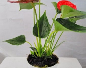 "Summer Special Hawaiian Red Anthurium Plant 8 - 10 Inches in a 4"" Pot  (FREE SHIPPING)"