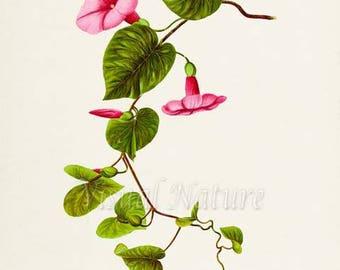 Woodrose Vine Flower Art Print, Botanical Art Print, Flower Wall Art, Flower Print, pink, green