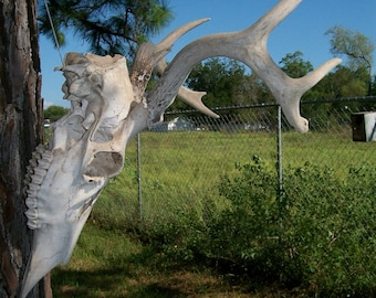 """Deer Antlers 8 points 12"""" wide, Stag,Texas wildlife Hunting rustic decor for Hunter retro Texana Texana Lot M-3"""