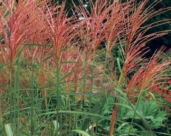LIVE PLANT --  Miscanthus sinensis Purpurascens - Japanese Silver Grass, Plant in 9cm Pot