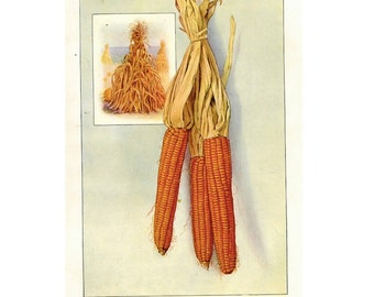 1911 ANTIQUE CORN LITHOGRAPH original antique fruit & vegetable food print - thanksgiving decor