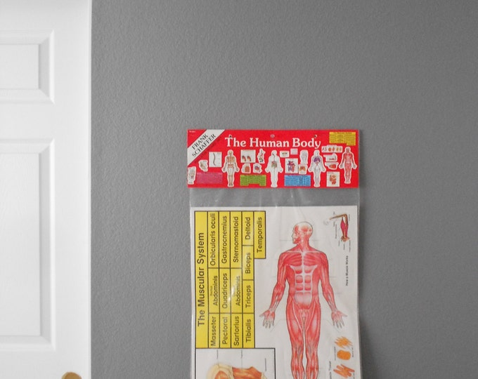 1980s muscular system chart poster size / anatomical / medical / school