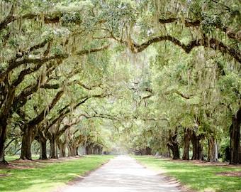 "Charleston Art, Road Photography, Tree Lined, Live Oaks, Art Print, Low Country, Tree Art, Spanish Moss, Green Wall Decor - ""Antebellum"""